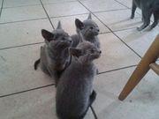 Russain Синие котята две женщины один мужчина для свободного принятия