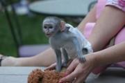 Очаровательны обезьян капуцинов Доступные