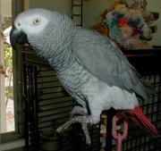 Очаровательны африканских серый попугай