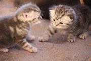 шотланский , вислоухий кот ищет кошечку.