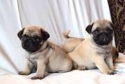 Симпатичные мопса щенки