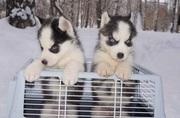 Красивые щенки хаски сибирский с голубыми глазами,